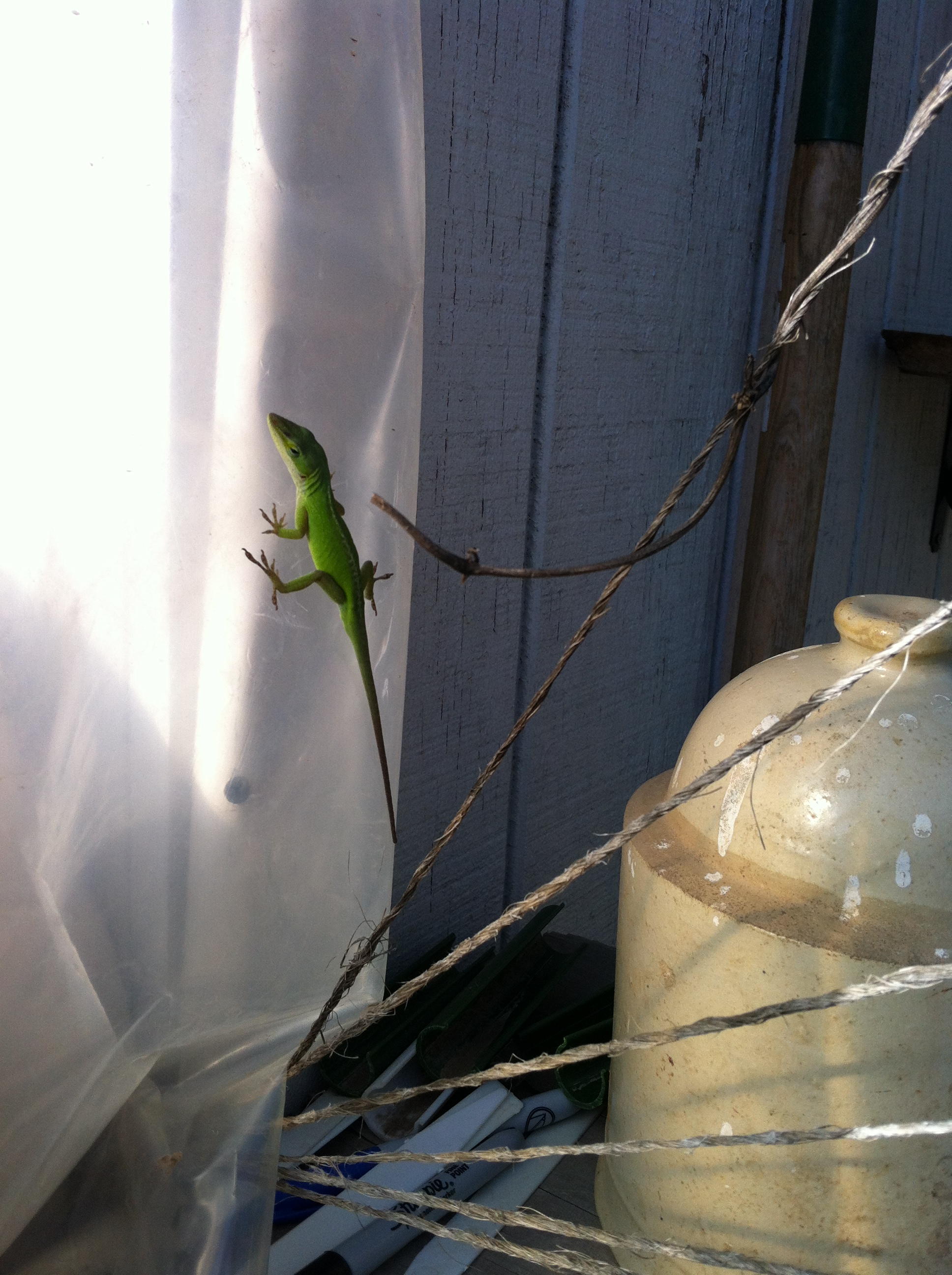 Male Anole lizard. Reptiles and amphibians are a welcome sight in the garden. Lizards, frogs and toads will help rid your garden of pest bugs.