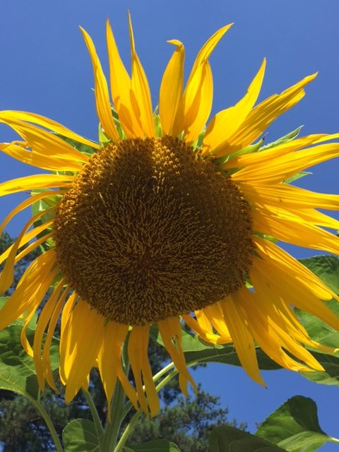 A sunflower booming in the summer.