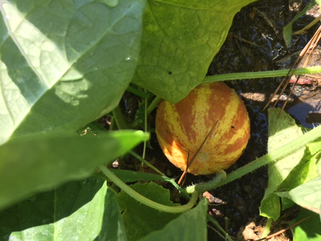 A ripe Plumgranny Melon, an heirloom melon variety grown in Southern Appalachia,