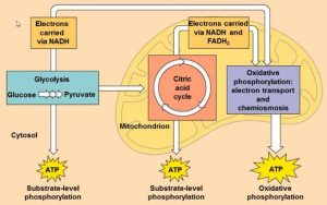 CAC and Glycolysis relationship