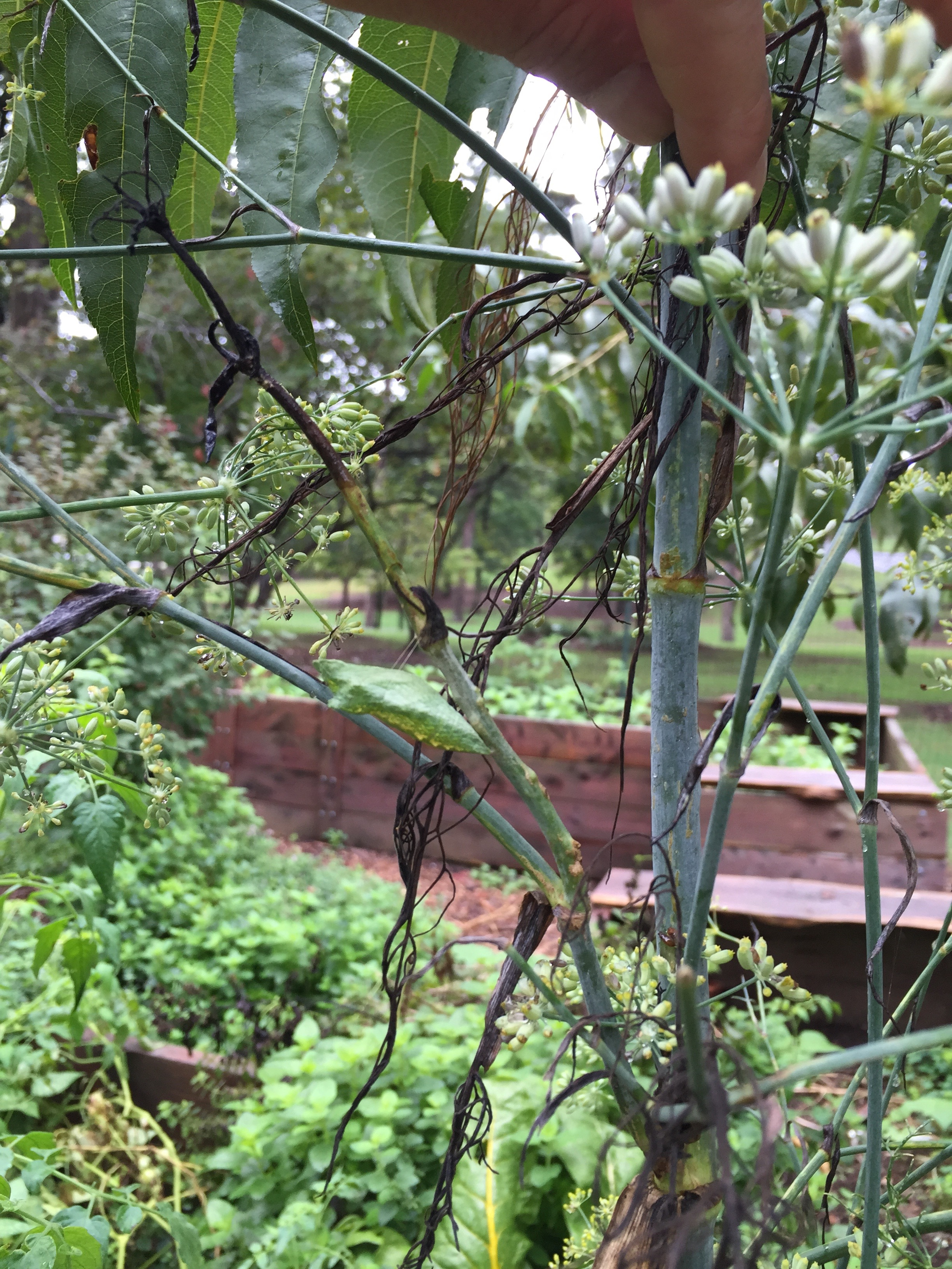 Tiger Swallow Tail chrysalis on fennel. Caterpillars are also fun to have in the garden because you can observe their growth process and watch as they become butterflies.