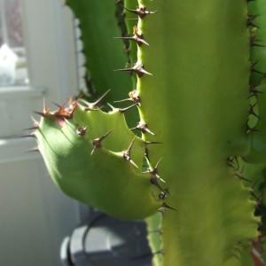 Euphorbia3