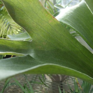 Staghorn1