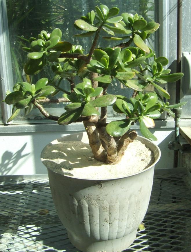 Jade plant biology teaching greenhouse for Low maintenance indoor flowering plants