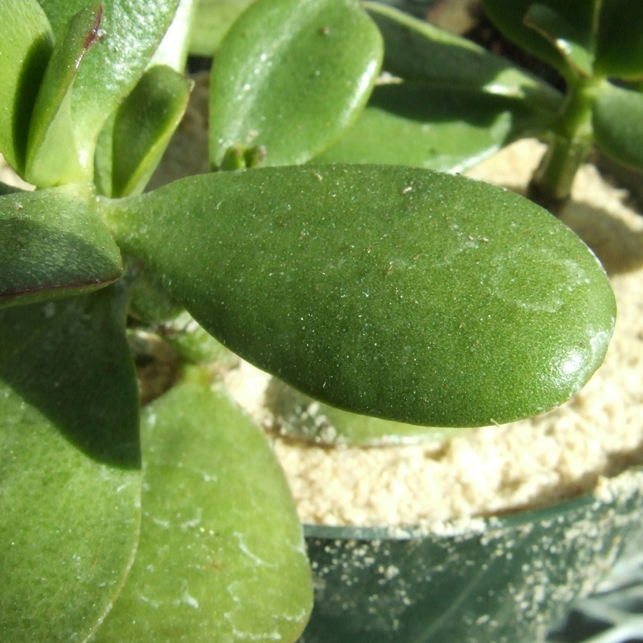 jade plant � biology teaching greenhouse