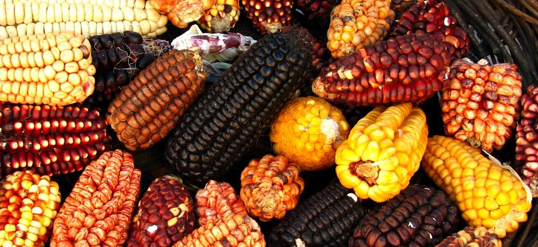 Historia y cultura del maíz