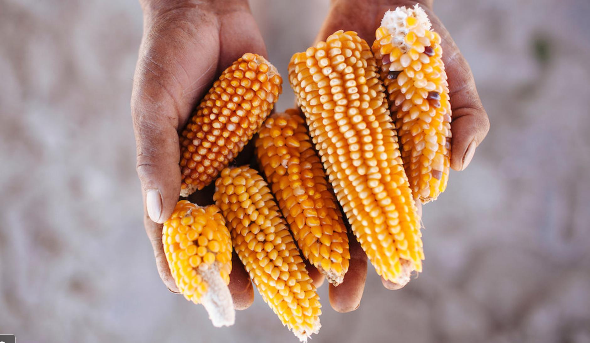 New York Times en español: La crisis entre México y Estados Unidos, ¿una nueva oportunidad para el maíz mexicano?